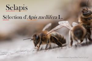 Selapis-Sélection_Apis_mellifera