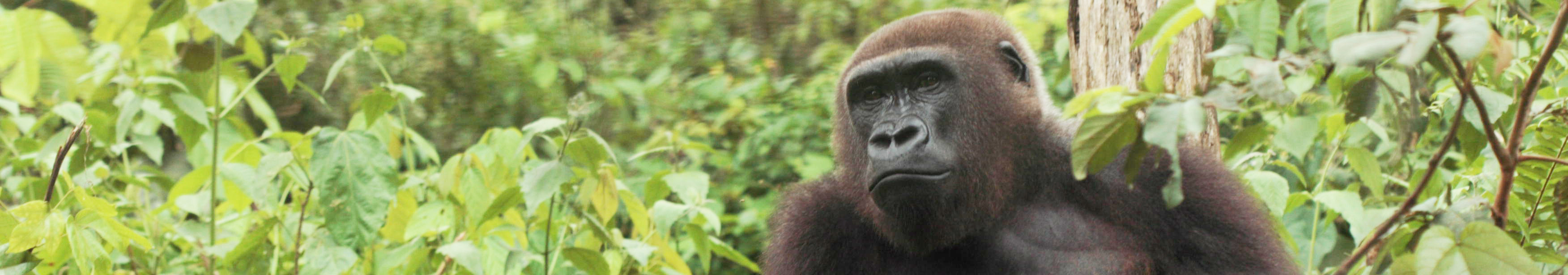 RS-Gorilles
