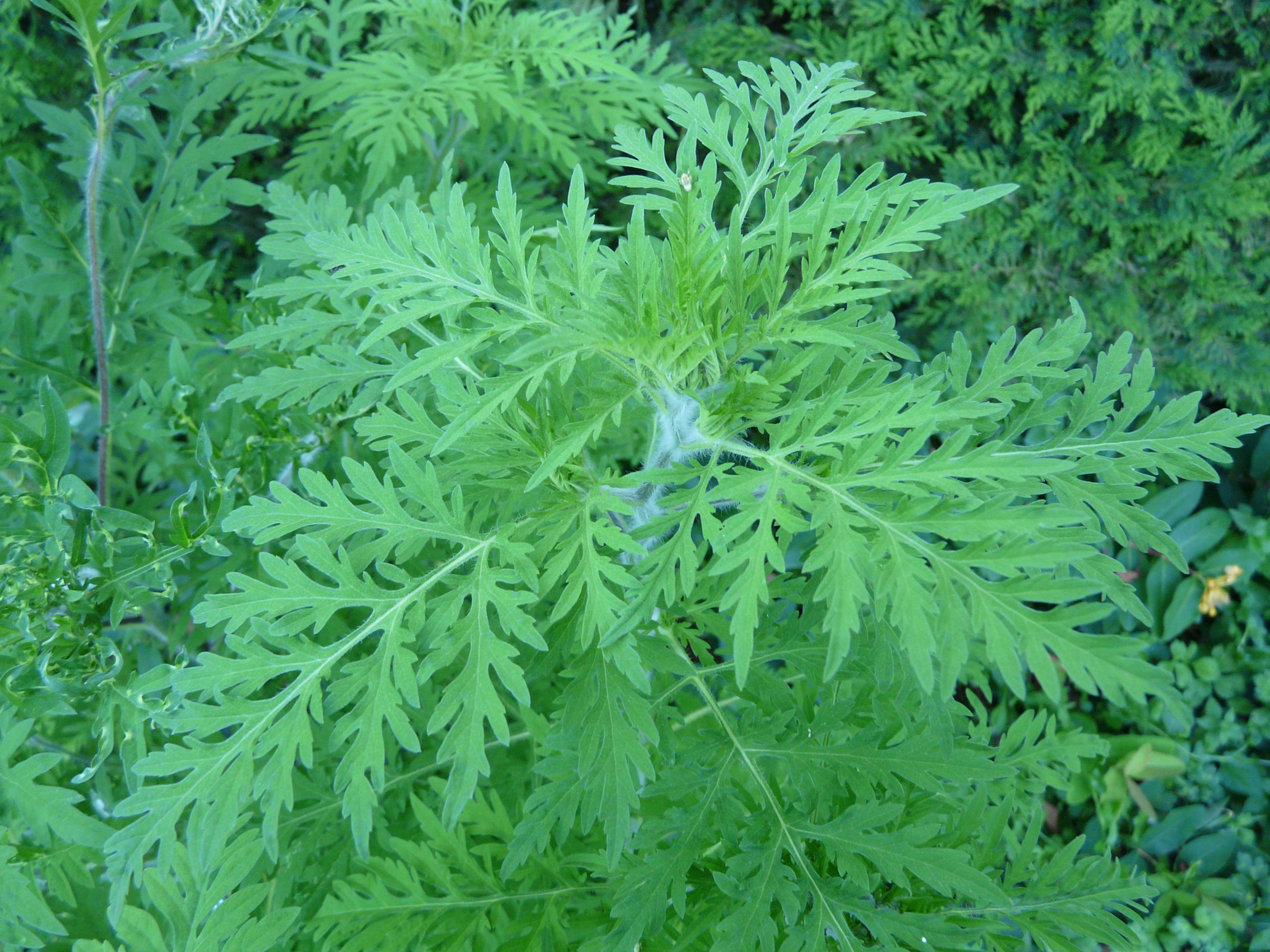 Ambrosia_artemisiifolia_jardin_Périgueux_(5)