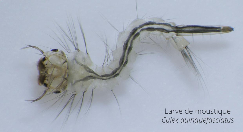 larve_moustique_culexf