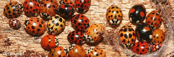 coccinelle_asian_ladybird