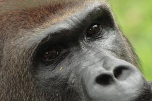 Gorille_ 2012_JY_De_Vleeschouwer