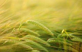 barley-2117454_1920